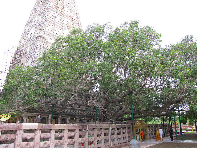 Photo: Bodhi Tree by Man Bartlett via Flickr